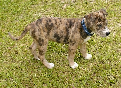 Catahoula Leopard Dog Mix Puppies For Sale
