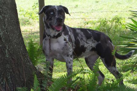 catahoula american bulldog mix catahoula bulldog catahoula leopard dog american bulldog 4072