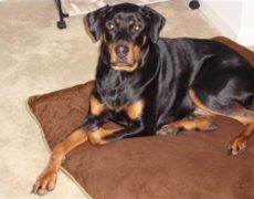Rotterman Doberman Rottweiler Mix Info Puppies And Pictures