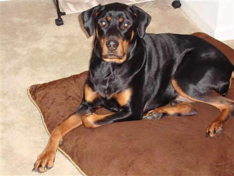 Rotterman Doberman Rottweiler Mix Info Puppies And