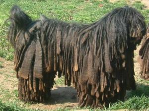 Bergamasco Sheepdog Bergamasco Shepherd Dog Info