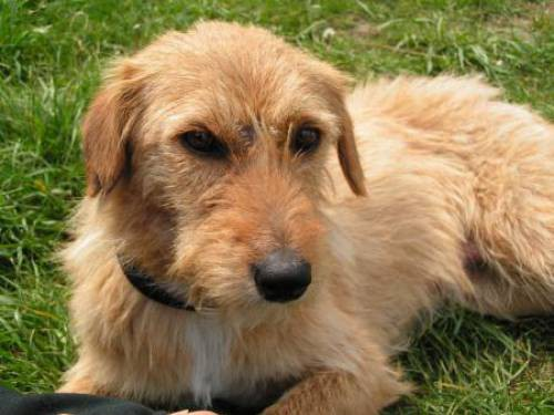Dog Breeds With A Pronounced Occiput