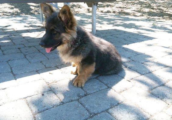 Corman Shepherd German Shepherd Corgi Mix Temperament Puppies