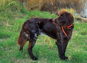 German Longhaired Pointer Images