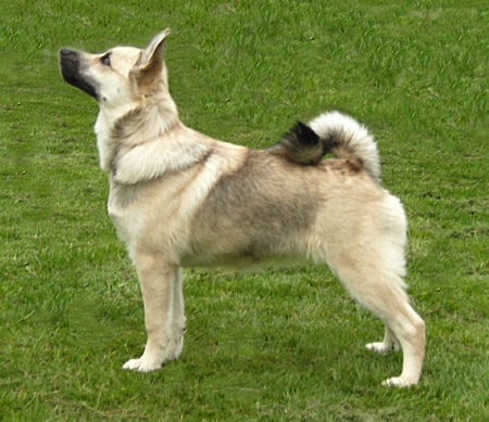 Norwegian Buhund Norwegian Shepherd Dog Info Puppies Pictures