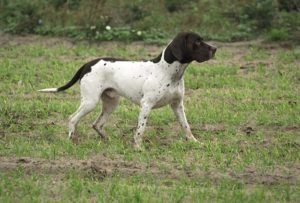 Old Danish Pointer Photos