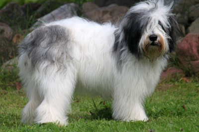 Polish Lowland Sheepdog Info Temperament Puppies Pictures
