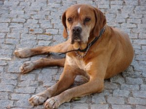 Portuguese Pointer Picture
