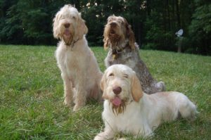 Pictures of Spinone Italiano