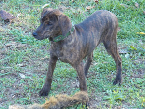 Tennessee Treeing Brindle
