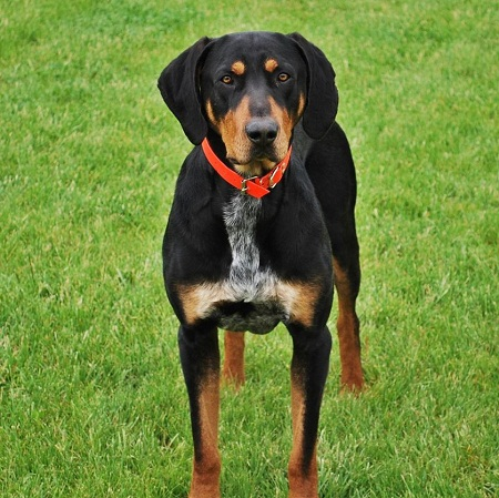 Hunting Hound Dogs Breeds
