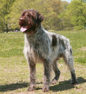 Wirehaired Pointing Griffon Photo