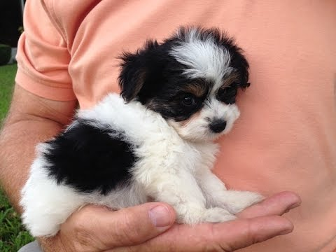 Biewer Terrier Info Temperament Puppies Pictures