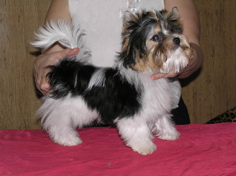 yorkshire terrier characteristics toy yorkshire terrier breeders ontario wow blog 151