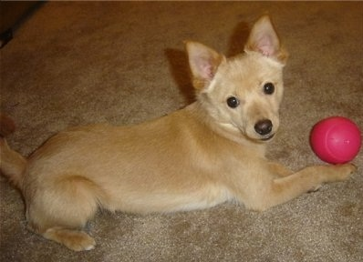 Jackaranian Jack Russell Terrier Pomeranian Mix Info And Pictures