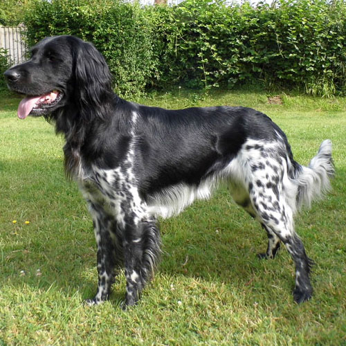 Black And White Large Dog Breeds