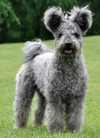 Hungarian Pumi Dog For Sale