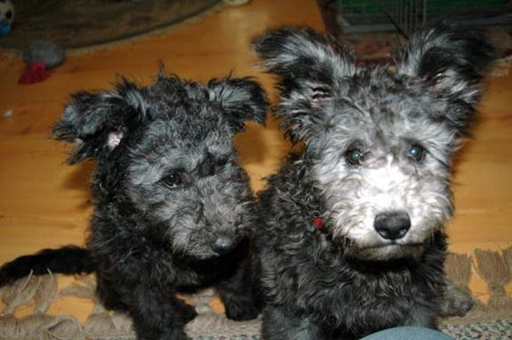 Pumi Dog Info History Temperament Training Puppies