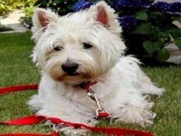 Weshi (West Highland White Terrier-Shih Tzu Mix) Info