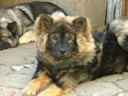 Chinese Foo Dog Info Temperament Puppies Pictures