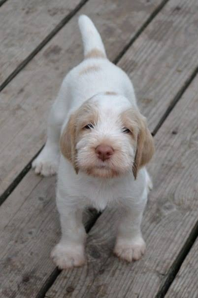 Spinone Italiano Info, Temperament, Puppies, Pictures