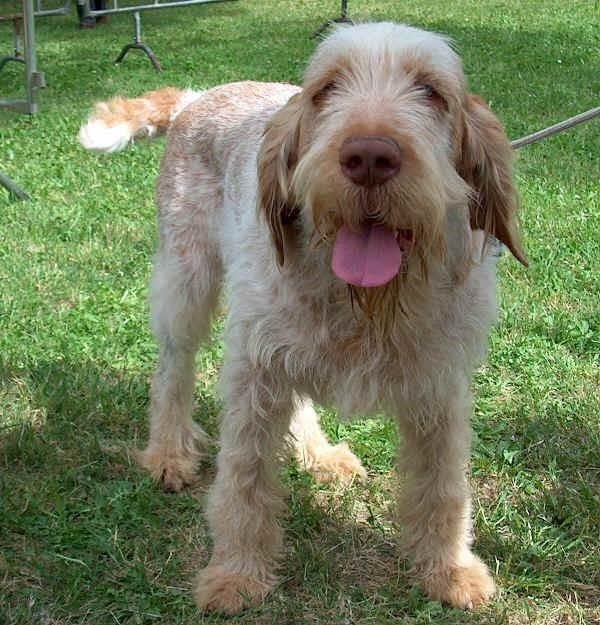 Dog Italian Spinone For Sale