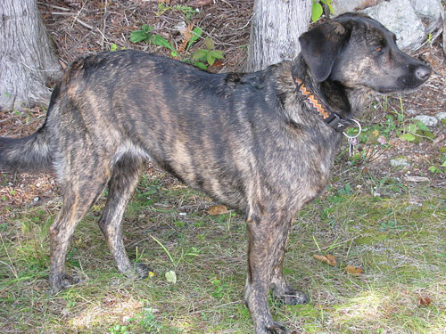 Treeing Tennessee Brindle Info, Puppies, Pictures, Video