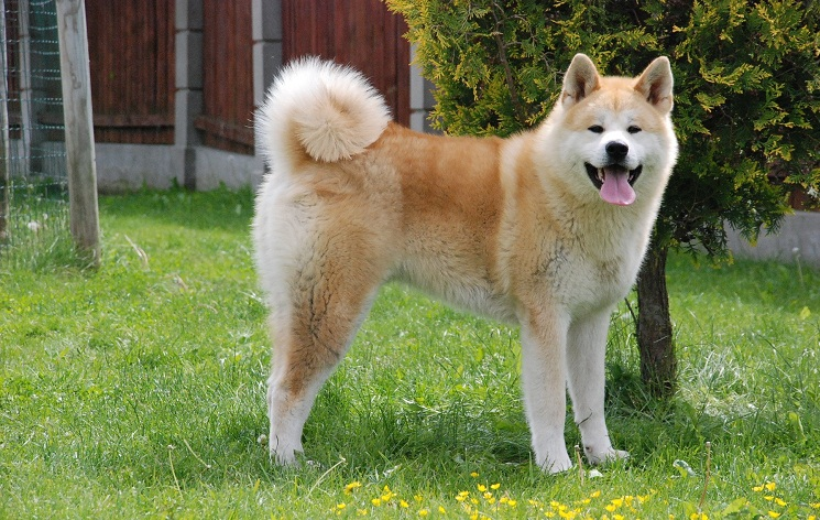 Best Fighting Dog Breeds With Pictures 101dogbreeds Com
