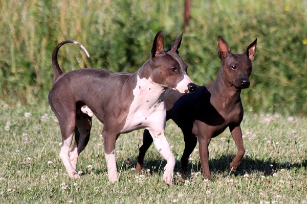 Black And Brown Terrier Dogs