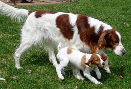 Irish Dog Breeds Hypoallergenic