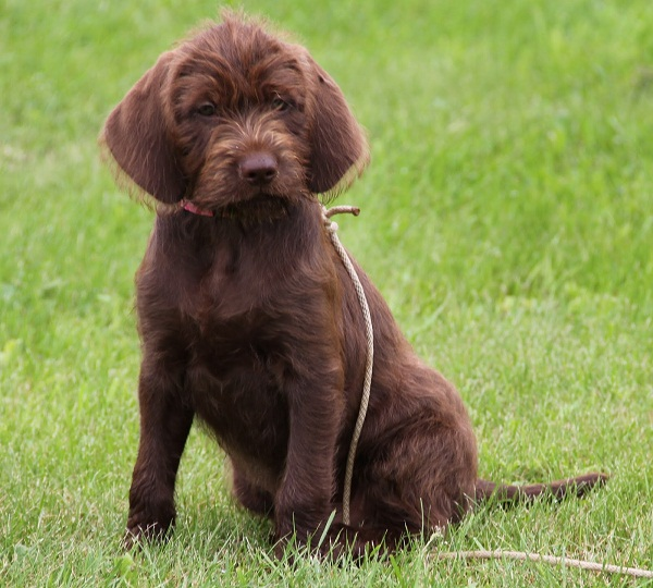 Pudelpointer Info Temperament Puppies Pictures
