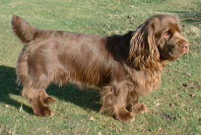 Sussex Spaniel Info Temperament Puppies Pictures