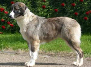Carpathian Shepherd dog