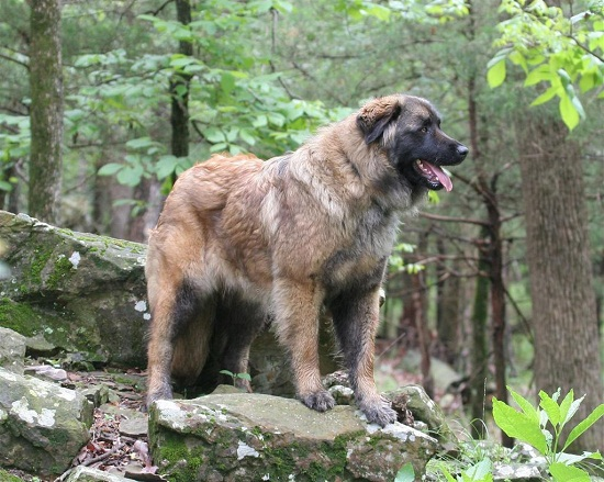 List Of Mountain Dog Breeds With Pictures 101dogbreeds Com