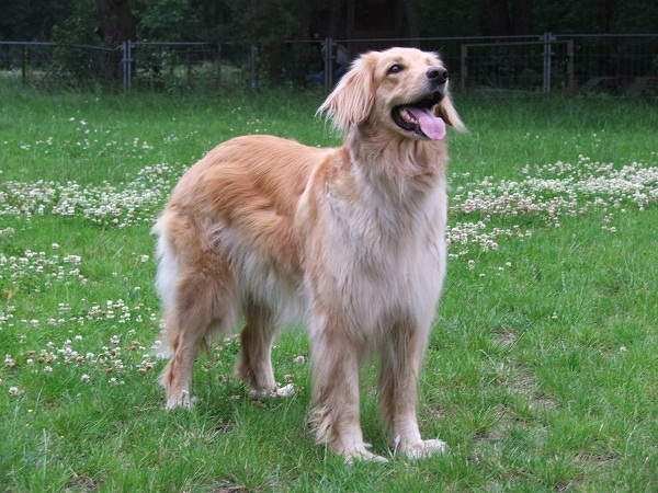 Hovawart Dog Info, Temperament, Puppies, Pictures