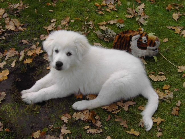 Maremma Sheepdog Info Temperament Training Puppies