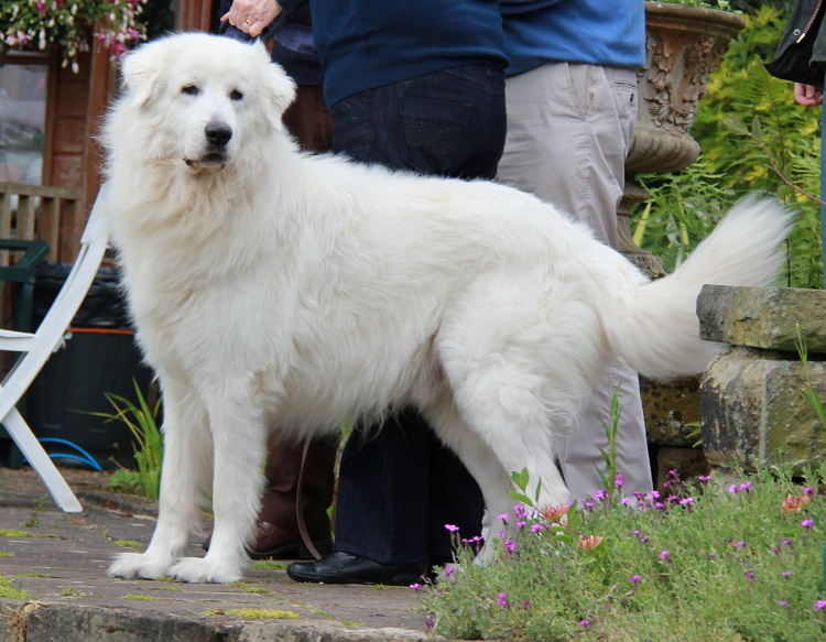 Breeds Of Big Mountain Dogs