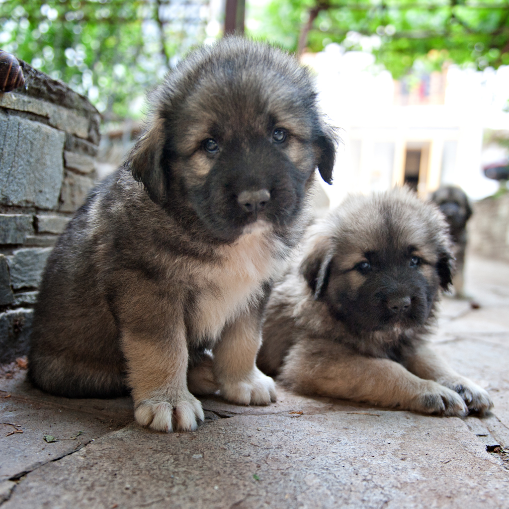 Yugoslavian Shepherd Dog For Sale