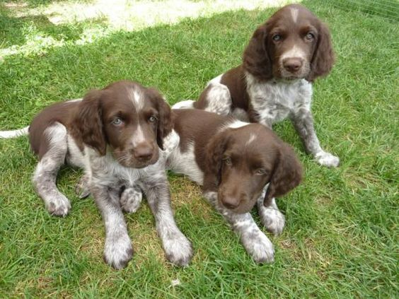 Small Pointer Dogs Barking