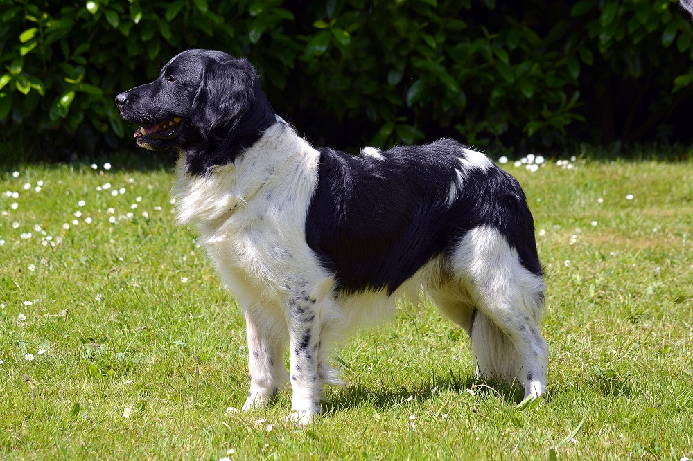Medium Brown Dog Breeds