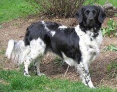 Stabyhoun (Frisian Pointer)