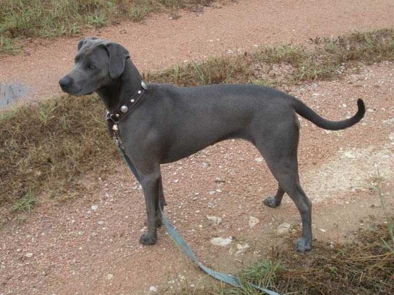blue lacy puppies blue lacy info temperament puppies pictures 3538