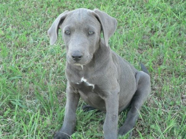 blue lacy puppies blue lacy info temperament puppies pictures 5034