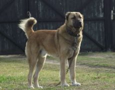 Kuchi Dog (Afghan Shepherd Dog)