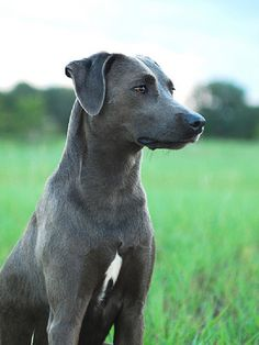 blue lacy puppies blue lacy info temperament puppies pictures 4216