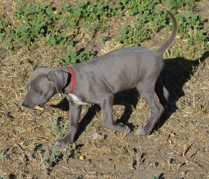 Blue Lacy Info, Temperament, Puppies, Pictures