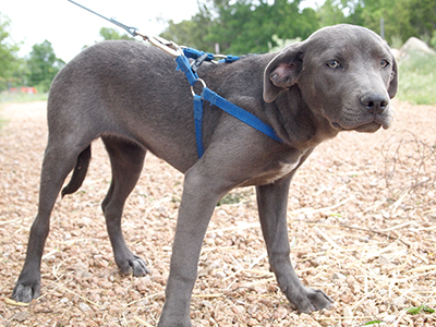 blue lacy info temperament puppies pictures