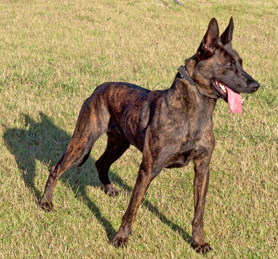 Dutch Shepherd Dog Info Temperament Puppies Training Pictures