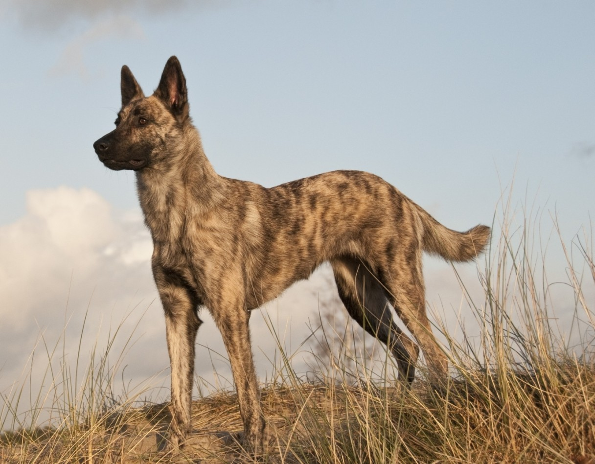 Dutch Shepherd Dog Info Temperament Puppies Training