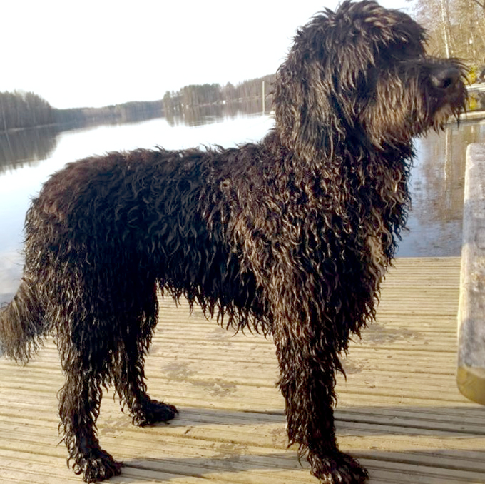 Barbet Dog Info History Temperament Training Puppy